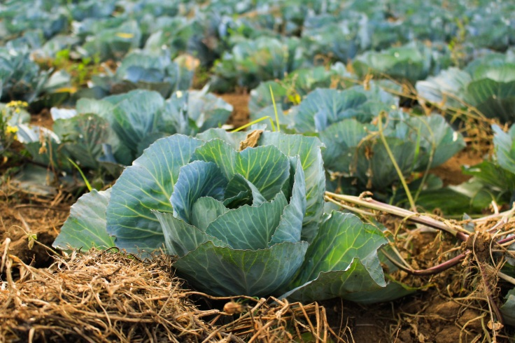 cabbage growing in a field
