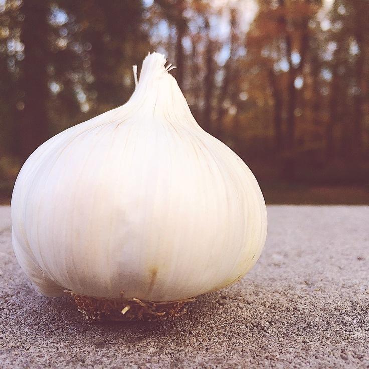 Photo of Garlic Bulb
